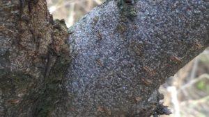 Kaliforniai pajzstetű szilván