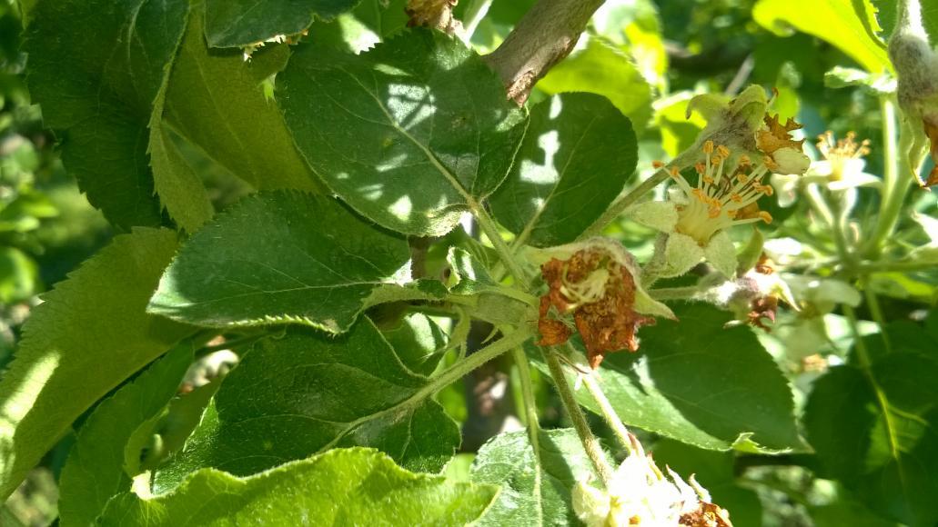 Bimbólikasztó ormányos almán