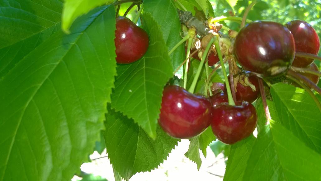 Érik az első gyümölcsünk
